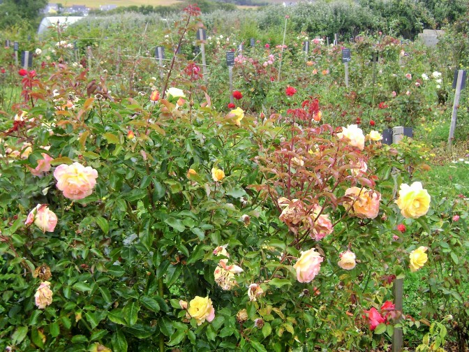 A Rose Garden in Brittany, France with 100s of varieties