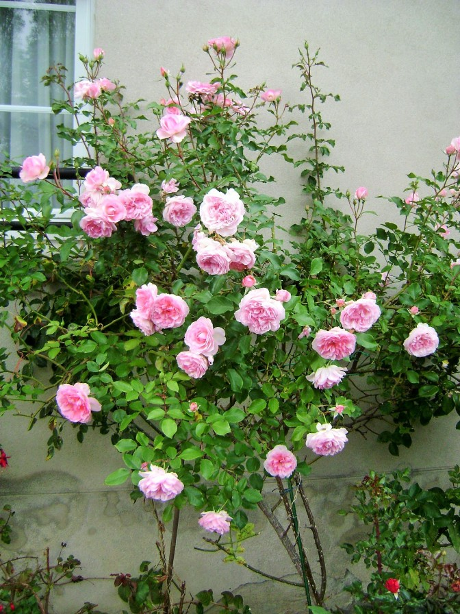 A Small Rose Garden in Brittany Adds Curb Appeal